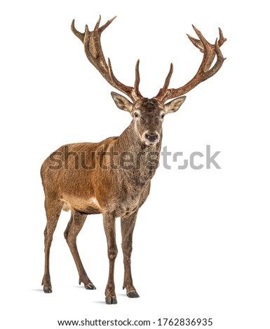 Red deer stag in front of a white background, remasterized