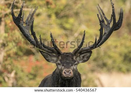 Red deer stag in September mating season in Dyrehaven forrest, Copenhagen, Denmark. #540436567