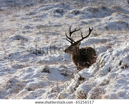 Red Deer Stag in the winter sunshine.