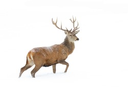 Red deer stag isolated on white background walking through the winter snow in Canada