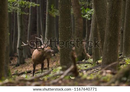 Red deer stag roaring in the wood #1167640771
