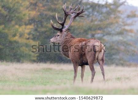 Red Deer Stag Rutting Season #1540629872