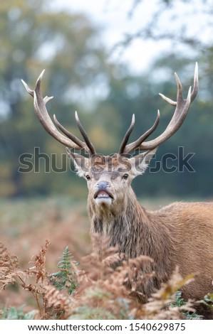 Red Deer Stag Rutting Season #1540629875