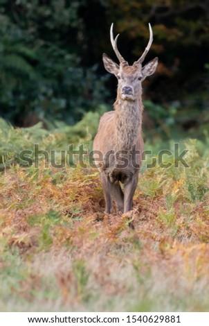 Red Deer Stag Rutting Season #1540629881