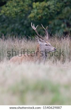 Red Deer Stag Rutting Season #1540629887