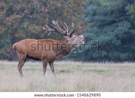 Red Deer Stag Rutting Season #1540629890