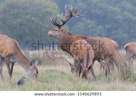 Red Deer Stag Rutting Season #1540629893