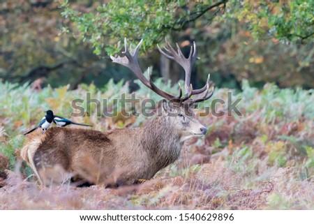 Red Deer Stag Rutting Season #1540629896