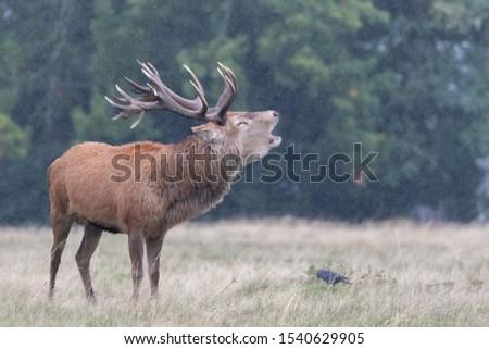 Red Deer Stag Rutting Season #1540629905