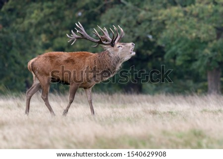 Red Deer Stag Rutting Season #1540629908