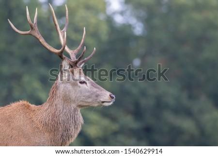 Red Deer Stag Rutting Season #1540629914