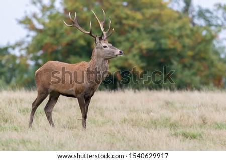 Red Deer Stag Rutting Season #1540629917