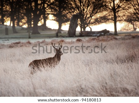 Red deer stag walks towards rising sun through trees on frosty Winter morning landscape