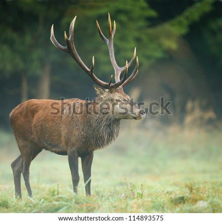 Red deer stag, watching for competition during the rut