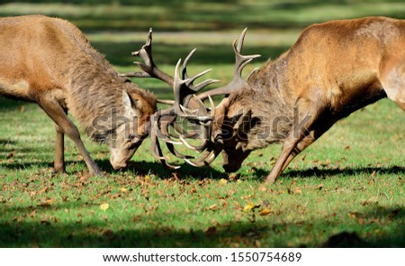 Red Deer stags fighting during rut #1550754689