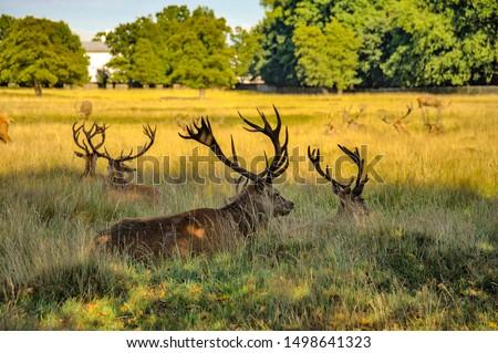 Red deer stags in Bushy park, London UK #1498641323