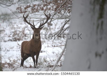Red deer stags on a cold winters day. #1504465130