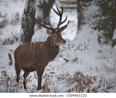 Red deer stags on a cold winters day. #1504465133