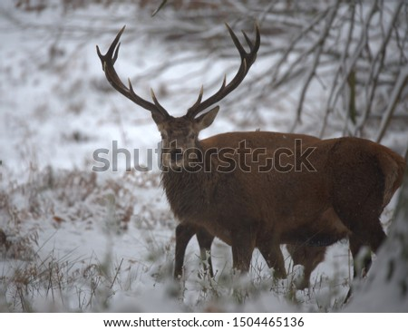 Red deer stags on a cold winters day. #1504465136