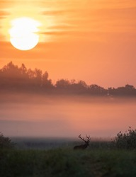 Red deer with big antlers walking on meadow on foggy morning with big sun raising behind trees. Wildlife in natural habitat