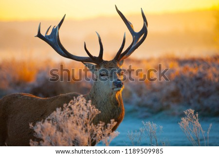 Red Deer With Big Horns,Stunning image of red deer stag, colourful forest landscape images, A young Red deer close up, Cute spotted fallow deer #1189509985