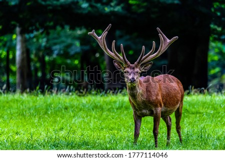 Red deer with big velvet antlers. Deer in nature. Red deer nature portrait