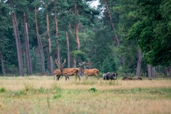 Red deers (Cervus elaphus) and wild boars (Sus scrofa) on the field of National Park Hoge Veluwe in the Netherlands. Forest in the background.