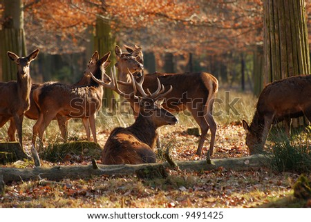 Red deers in the autumnal wood