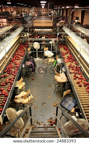 Red Delicious apples on sorting line tables