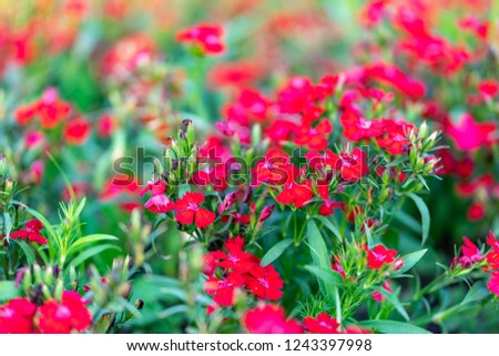Red Dianthus top view blooming background, Dianthus caryophyllus\n