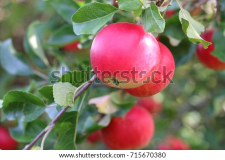 Red Discovery Apple fruits, Malus domestica, hanging on the branch of an apple tree in late summer, Shropshire, England
