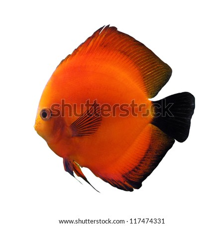 red discus fish isolated on white - stock photo