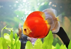 Red discus (pompadour fish) are swimming in freshwater aquarium. Symphysodon aequifasciatus is American cichlids native to Amazon river, South America, popular as freshwater aquarium fish.