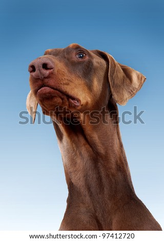 Red Doberman Pinscher with natural ears