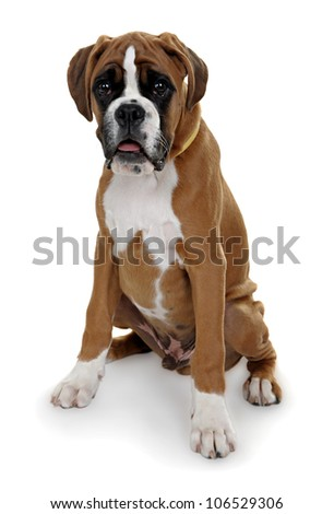 red dog breed boxer shot in the Studio on a white background.