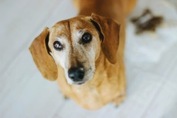 Red dog breed Dachshund. Close up. Gray-haired adult dog. Hunting dog. Portrait of a pet. Selective focus.