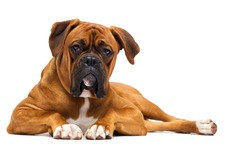 red dog breed German boxer lies on isolated on a white background