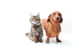 Red dog dachshund and Gray-Brown cat on a White isolated background