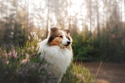 red dog in the forest. Fluffy sheltie in nature