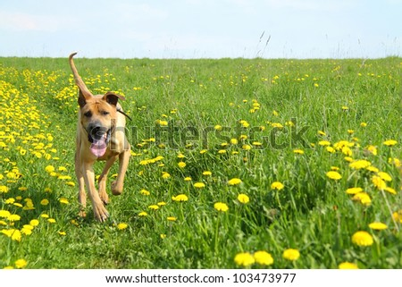 Red dog in the meadow with blooming dandelions