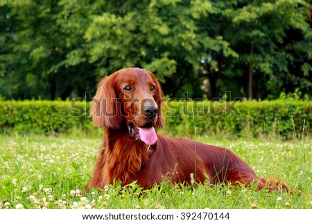 red dog Irish setter in summer, lying in the Park on the grass #392470144