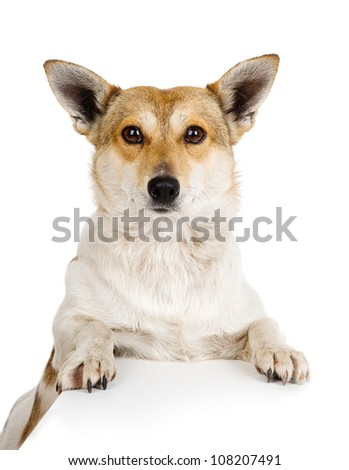 Red dog.  isolated on white background