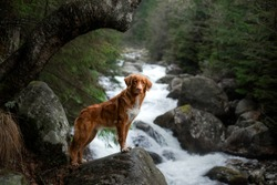 red dog on a stone by the river. Nova Scotia Duck Tolling Retriever in nature. pet in nature