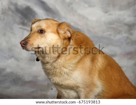 Red Dog Pooch With Unhappy Eyes And Pursed His Ears Ez Canvas