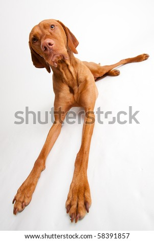 Red Dog Stretching on White Background