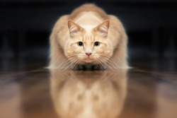 Red domestic cat in a position ready to hunt prey or the crunchy. Cat in perfectly symmetry, dark background.