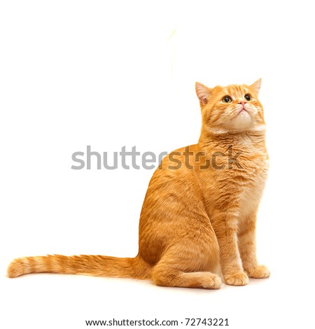 Red domestic cat looking up - isolated on white background