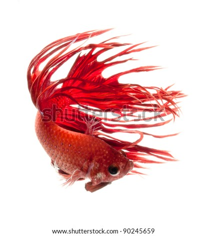 Betta Fish Fighting on Stock Photo   Red Dragon Betta Fish  Siamese Fighting Fish Isolated On