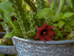 Red Dragon Flower is a beautiful succulent plant that was once thought to be a natural hybrid ofHuernia verekeriandHuernia aspera, but is now recognized by some authorities as a legitimate species.