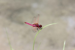 red dragonfly macro photo, Amazing closeup of dragonfly resting on the grass top in the nature.